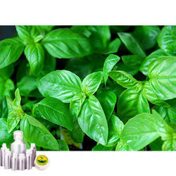 Basil Egypt Oil
