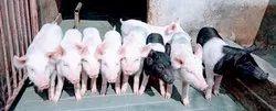 Cross Breed Piglet