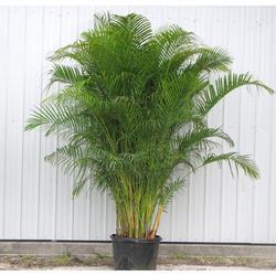 Areka Palm Tree