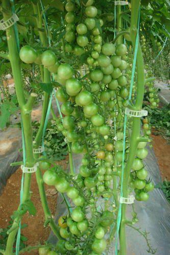 Tomato Seeds - Cheramy