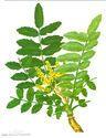 Boswellia Extract 60%