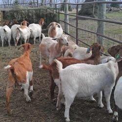 Goat Farming Services
