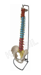 Didactic Flexible Vertebral Column With Pelvis Model