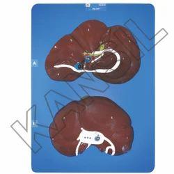 Dog Liver For Veterinary Model