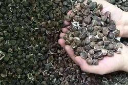 Moringa Wingless Seeds