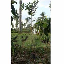 Terminalia Catappa Plant