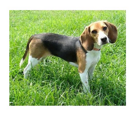 Popular Sea Beagle Adorable Dog - beagle-puppies-500x500  Pictures_93934  .png