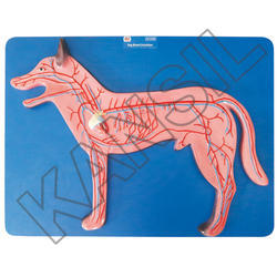 Dog Blood Circulation For Veterinary Model