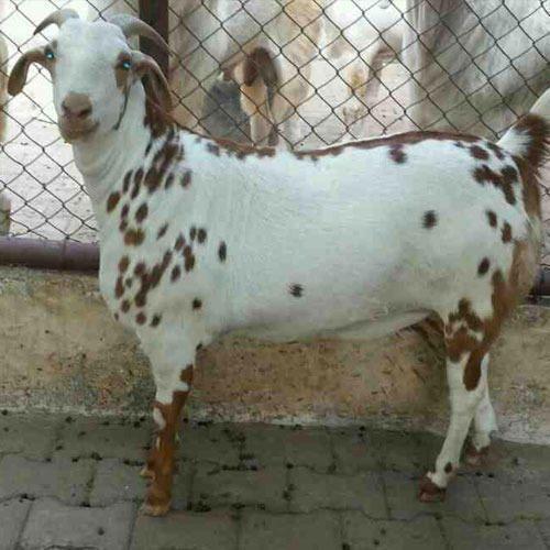 Barbari Goat - Wholesale Price & Mandi Rate for Barbari Goat
