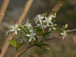Kutaj (8:1) Herbal Extract