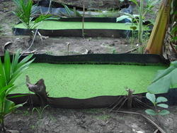 Azolla Bed