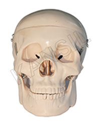 Human Skull Model Dx.For Bones & Skeleton Model