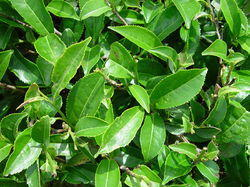 Green Tea (Cammelia Sinensis)