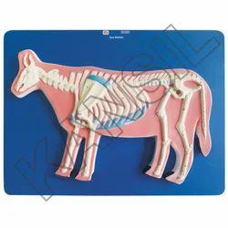 Cow Skeleton For Veterinary Model