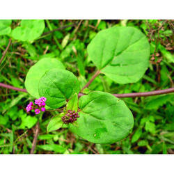 Punarnava (Boerhavia Diffusa) Extract