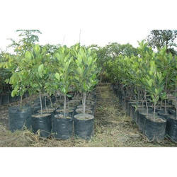 Fruit Plants Suppliers Manufacturers Amp Traders In India