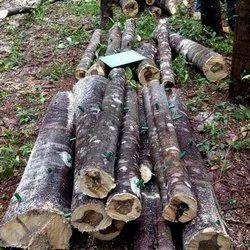 agarwood Tree SBAW0056