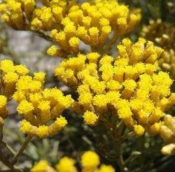 Helichrysum Italicum Oil