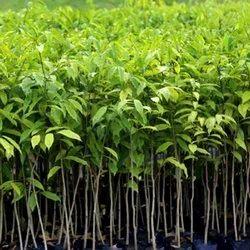 Agarwood Seeds SBAW0042
