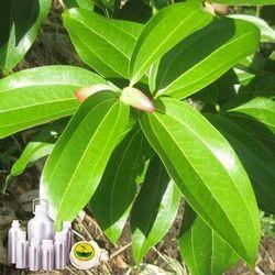 Cinnamon Certified Organic Oil