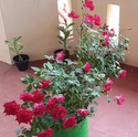 Rose Plant in Grow Bags