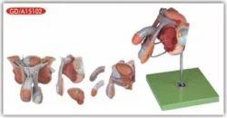 Male Genital Organs Reproductive System Models