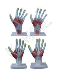 Palm Anatomy For Bones & Skeleton Model