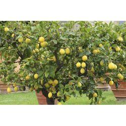 Thai Kagji Sharbati Lemon Plants Tissue Cultre