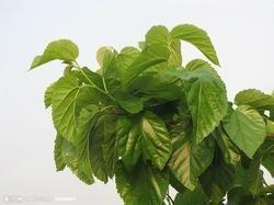 Mulberry Leaf Extarct