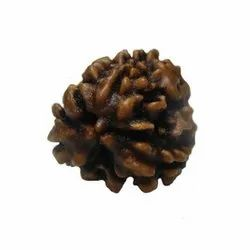 Three Faced Rudraksha