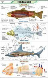 Fish Anatomy For Zoology Chart