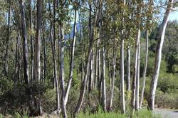 Eucalyptus Globules Oil