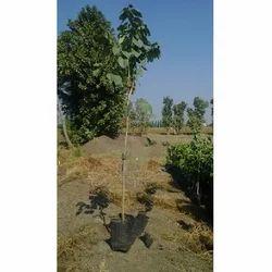 Cordia Sebestena Plant