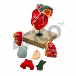 7 Parts Human Heart Models
