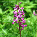 Orchis Mascula Extract