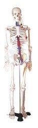 Human Skeleton Anatomical Model