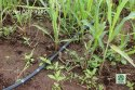 Vegetable Crop Drip Irrigation