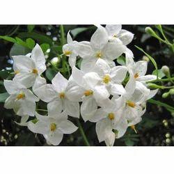 Jasmine Grandiflorum Attar Oil