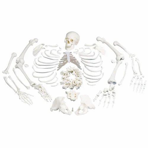 Disarticulated Skeletons For Medical Students, Bone Sets ...