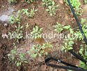 Drip Tape For Vegetable Crops