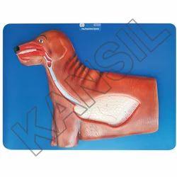 Dog Respiratory For Veterinary Model