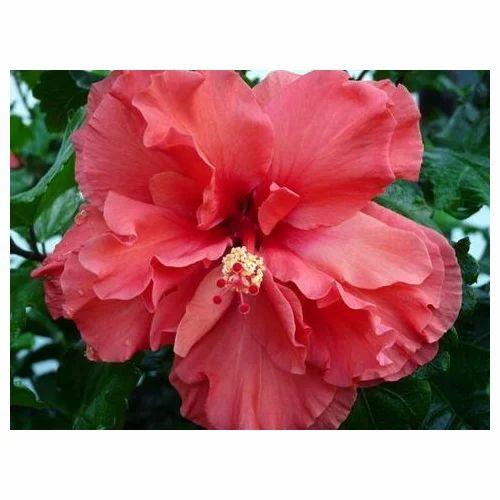Flowering Plants Hibiscus Rosa Sinensis Plant Wholesale Trader