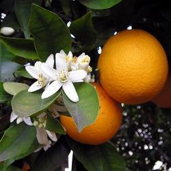 Orange Hydrosols