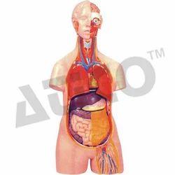 Human Torso Unisex 12 Parts