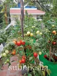 Tomato In Subhiksha Grow Bags