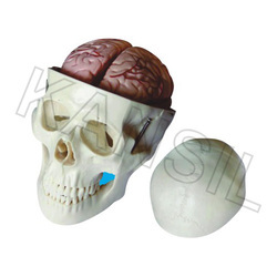 Skull Model With 8 Parts Brain For Bones & Skeleton Model