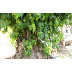 Pipado Chal Leaves