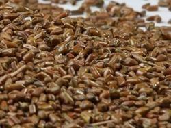Eyesite Boosting Certified Cassia Tora Seeds for Medicine