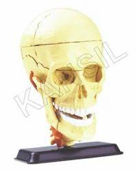 Cranial Nerve Skull For Anatomy Model