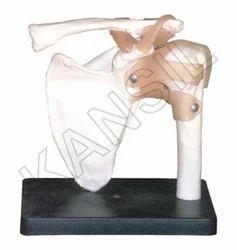 Shoulder Joint Anatomical Model